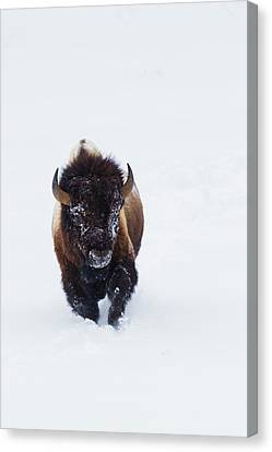Bison Bull Canvas Print by Ken Archer