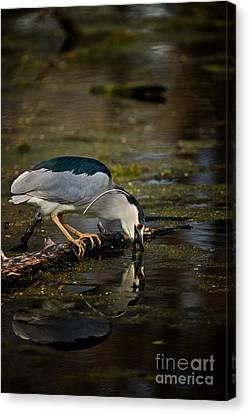 Canvas Print - Black Crowned Night Heron by Michael Cummings