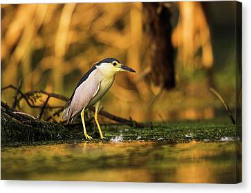 Black-crowned Night Heron (nycticorax Canvas Print by Martin Zwick