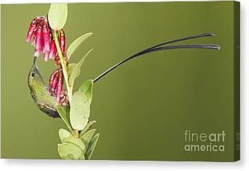 Canvas Print featuring the photograph Black-tailed Train Bearer Hummingbird by Dan Suzio