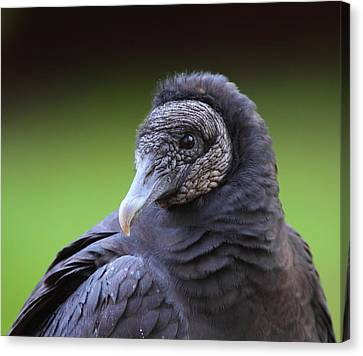 Black Vulture Portrait Canvas Print