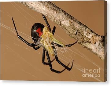 Black Widow Spider Canvas Print by Scott Linstead
