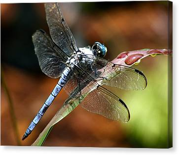 Canvas Print featuring the photograph Blue Dragonfly by Kelly Nowak