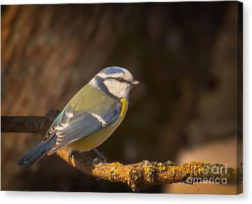 Blue Tit Canvas Print by Sylvia  Niklasson