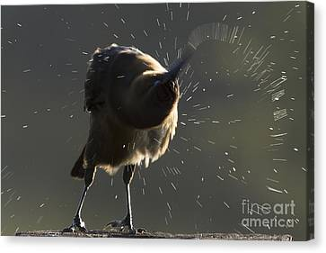 Boat Tailed Grackle Canvas Print by Meg Rousher