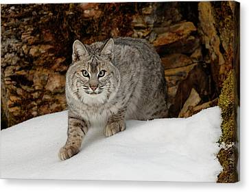 Bobcat In Snow (captive Canvas Print