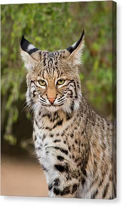 Bobcat (lynx Rufus Canvas Print