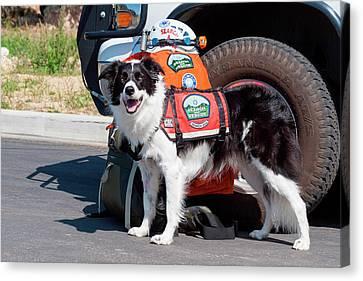 Search And Rescue Canvas Print - Border Collie Search And Rescue Dog (mr by Zandria Muench Beraldo