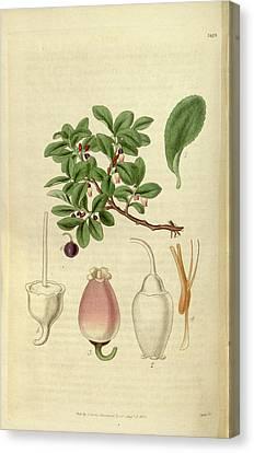 Botanical Print Or English Natural History Illustration Canvas Print by Quint Lox