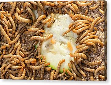 Breeding Insects For Human Consumption Canvas Print