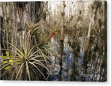 Bromeliad Tillandsia Fasciculata Canvas Print