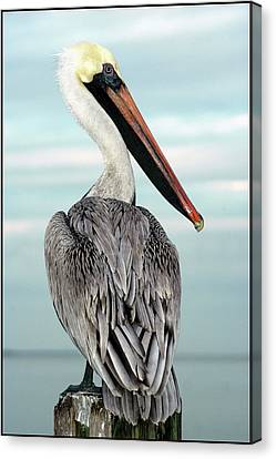 Canvas Print featuring the photograph Brown Pelican by Geraldine Alexander