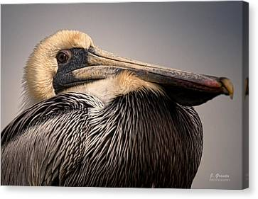 South Carolina State Bird Canvas Print - Brown Pelican by Joe Granita