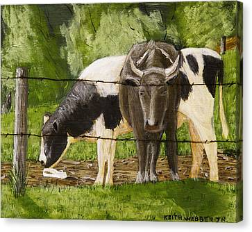 Bull And Cow Spring Farm Field  Canvas Print by Keith Webber Jr
