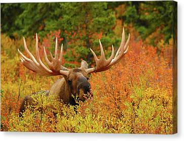 Bull Moose Canvas Print - Bull Moose Feeding, Denali National by Michel Hersen
