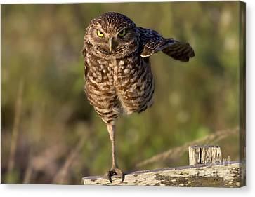 Burrowing Owl Photograph Canvas Print by Meg Rousher