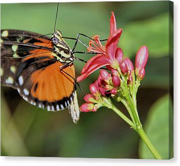 Butterfly Canvas Print by Dan Sproul