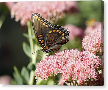 Butterfly Canvas Print by Denise Pohl