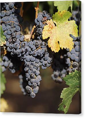 Cabernet Sauvignon Grapes In Vineyard Canvas Print