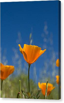California Poppy Canvas Print by Rima Biswas