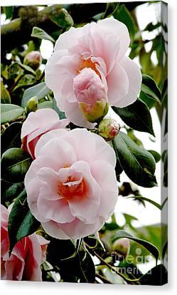 Camellia Flowers Camellia Japonica Canvas Print