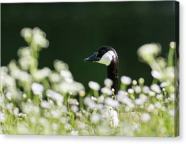 Canada Goose (branta Canadensis Canvas Print by Martin Zwick