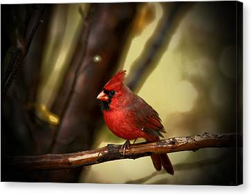 Cardinal Pose Canvas Print by Karol Livote