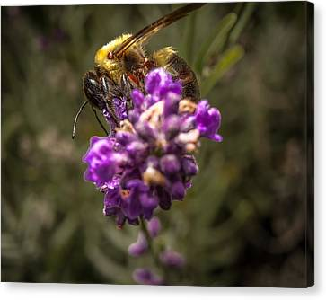 Carpenter Bee On A Lavender Spike Canvas Print by Ron Pate