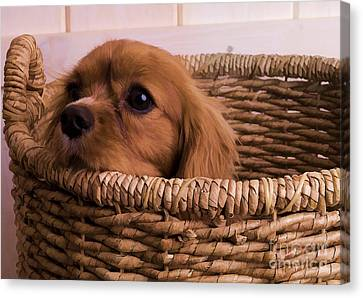 Cavalier King Charles Spaniel Puppy In Basket Canvas Print