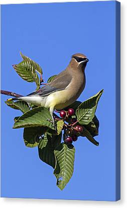 Cedar Waxwing Canvas Print by Angie Vogel