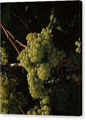 Winemaking Canvas Print - Chardonnay Grapes In Vineyard, Carneros by Panoramic Images