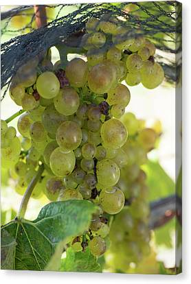 Winemaking Canvas Print - Chardonnay Grapes On Vine by Panoramic Images