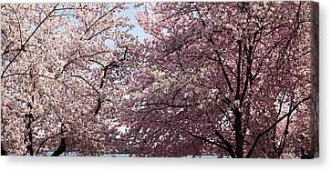 Cherry Blossom Trees In Bloom Canvas Print