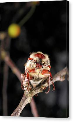 Chestnut Cockchafer Beetle Canvas Print by Heiti Paves