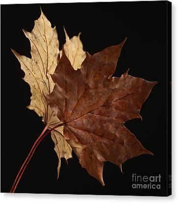 Chestnut Leaf Canvas Print by Bernard Jaubert