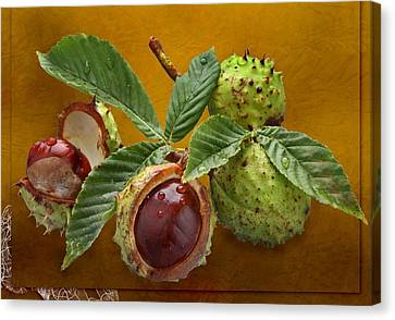 Chestnuts Canvas Print by Manfred Lutzius