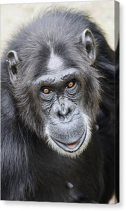Chimpanzee Portrait Ol Pejeta Canvas Print