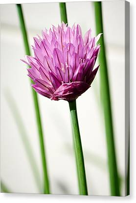 Chives Canvas Print by Jouko Lehto