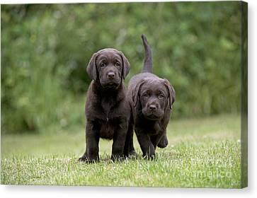 Chocolate Lab Puppy Dogs Canvas Print
