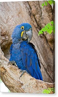 Close-up Of A Hyacinth Macaw Canvas Print by Panoramic Images