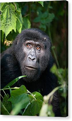 Close-up Of A Mountain Gorilla Gorilla Canvas Print by Panoramic Images
