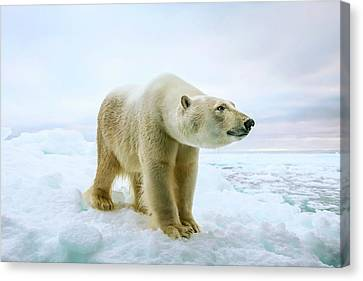 Close Up Of A Standing Polar Bear Canvas Print by Peter J. Raymond