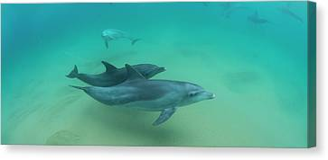 Close-up Of Two Bottle-nosed Dolphins Canvas Print