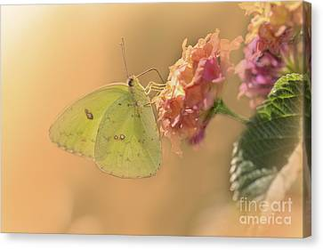Clouded Sulphur Butterfly Canvas Print by Betty LaRue