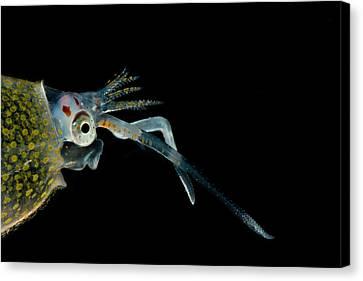 Cockatoo Squid Cranchia Scabra Canvas Print by Dant� Fenolio