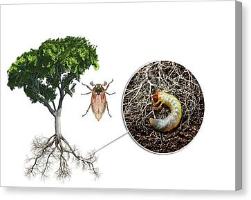 Cockchafer And Beech Tree Canvas Print