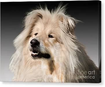 Collie Pics Canvas Print - Collie Dog  by Linsey Williams