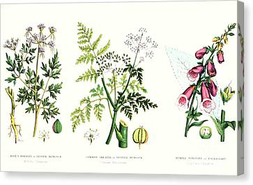 Botany Canvas Print - Common Poisonous Plants by English School