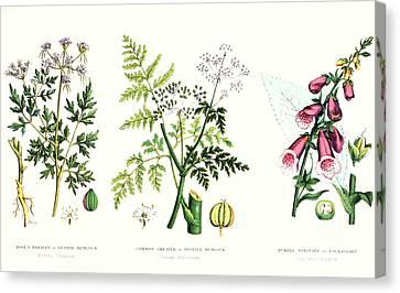 Common Poisonous Plants Canvas Print by English School
