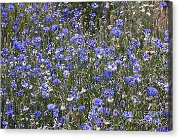 Cornflowers Centaurea Cyanus Canvas Print